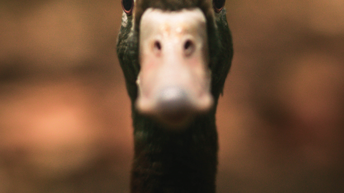 A Duck Staring Right At You.